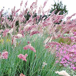5 ornamental grasses to put on your garden wish list ruby grass mightylinksfo Gallery