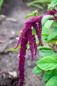 Amaranth flowers bloom in hot summer day